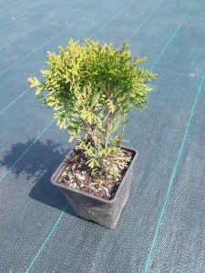 Thuja tuja occidentalis DANICA P9